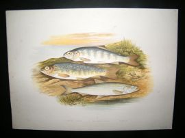 Houghton 1879 Folio Antique Fish Print. Young Trout, Salmon Parr, Smelt